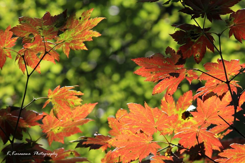 紅葉最盛期のもみじは本当に美しいです。