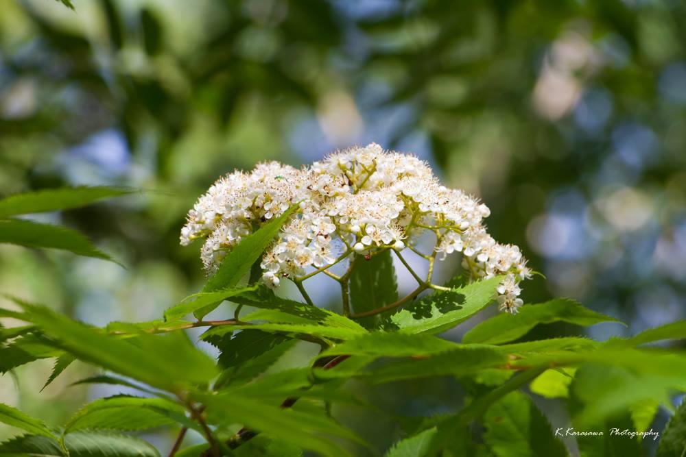 庭でナナカマドが開花していました。