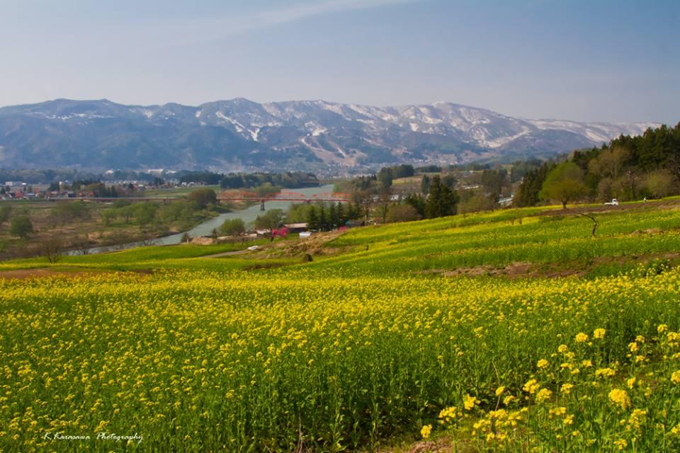 麓では菜の花が満開です。