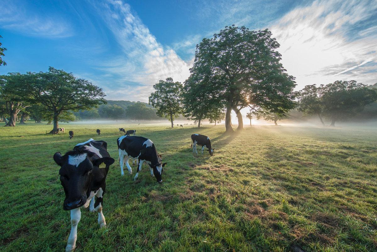 朝焼けのカヤノ平では牛達も元気です。
