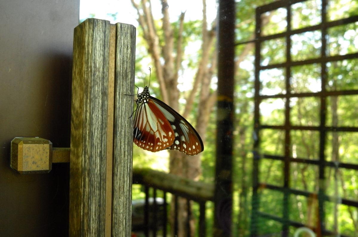 可憐なアサギマダラは旅する蝶々です。